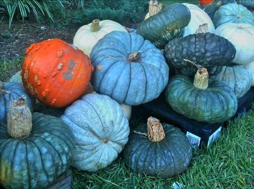 Pumpkin Farms in Rochester